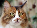 Портрет ухоженной кошки
