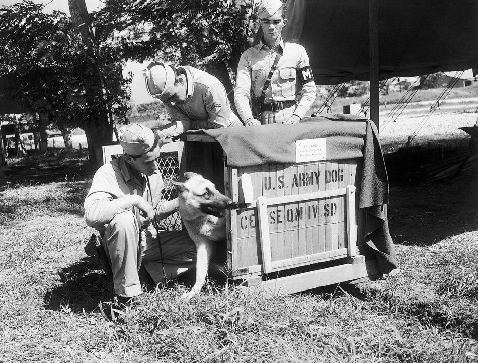 WWII  Puerto Rico U.S.  Forces   Animald  Dogs