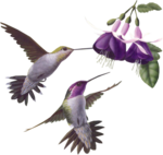 68277477_Myst2Hummingbirds_fuchsia_Sm.png