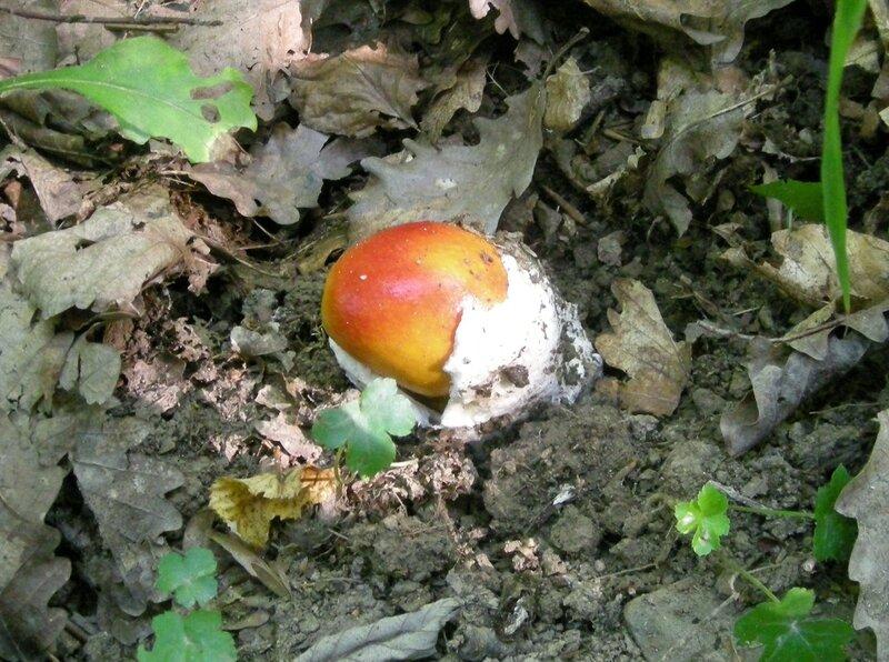 Цезарский гриб (появляется из яйца)