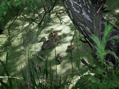 А эта утка каждый год выводила птенцов далеко от реки: в зарослях оросительной канавы посреди поля. Это самая «страшная» утка на моей памяти. Однажды возвращаясь из леса берегом этой канавы, я услышал за спиной страшные звуки. Оглянувшись, я увидел, как мама-утка с раскинутыми в стороны крыльями и с громким шипением шла по пятам, «прогоняя» меня от своего семейного местечка. Прогнала. С перепугу я даже забыл, что у меня фотоаппарат в сумке. Автор фото: Юрий Семенов