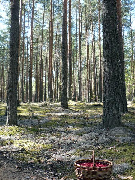 брусничный лес