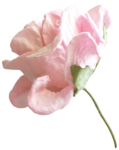 Lilas_Iced-Roses_elmt (76).png