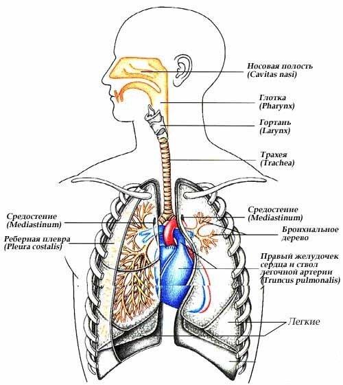 Наружная часть носа...  Мочеполовая система - комплекс органов репродуктивной и мочевыделительной систем...