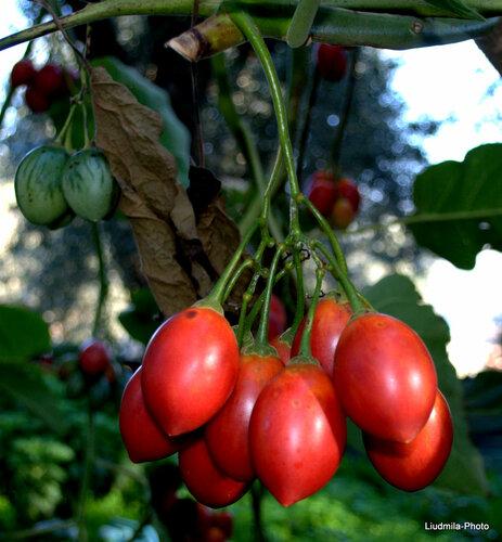 l albero di pomodoro giardino e casa