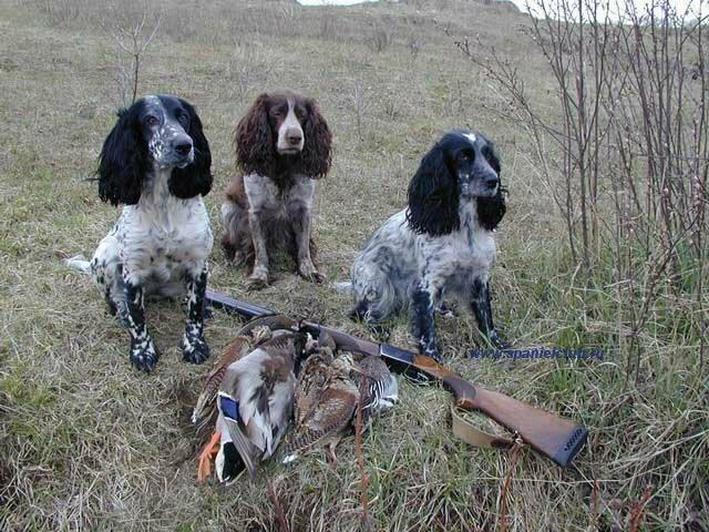 Русский охотничий спаниель щенки фото.