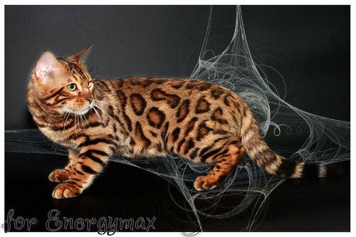 Лаптева-фото - Фотографии животных для питомников и заводчиков - Страница 4 0_1433ff_7e4ba045_L