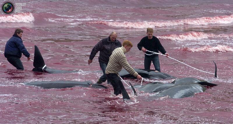 Жители Фарерских островов, автономной провинции Дании, являются потомками...