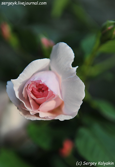 Rosa The Wedgwood Rose (9).JPG