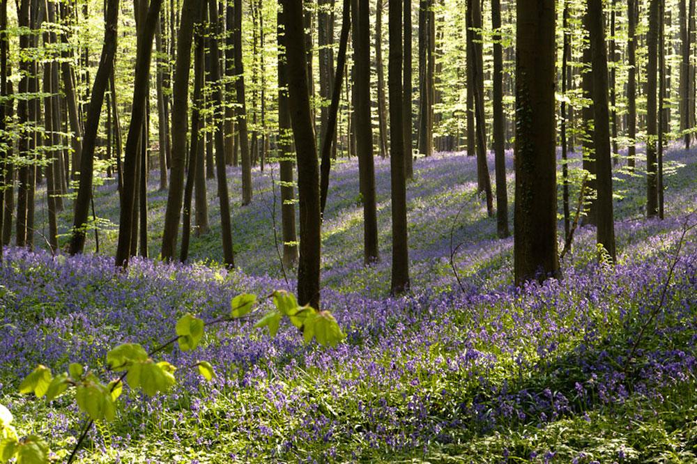 Фотографии Халлербоса   лес синих колокольчиков в Бельгии 0 140aec 8be5043 orig