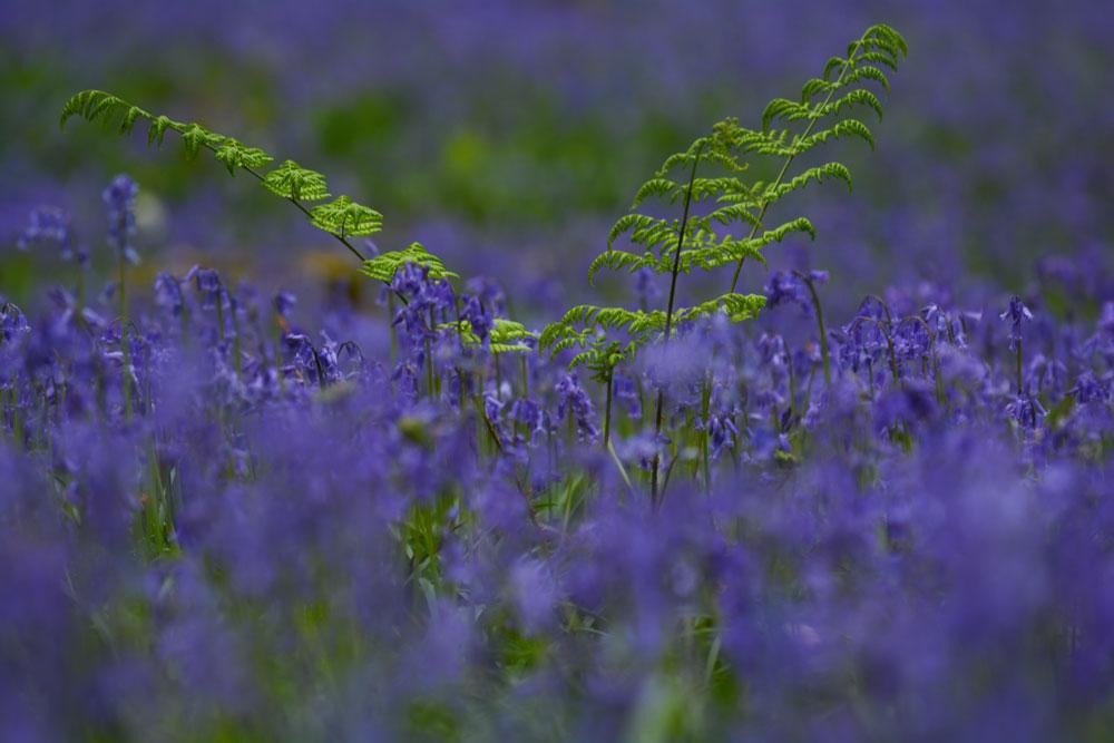 Фотографии Халлербоса   лес синих колокольчиков в Бельгии 0 140aee 383aebf5 orig