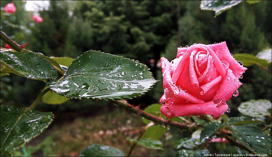 Роза под дождём