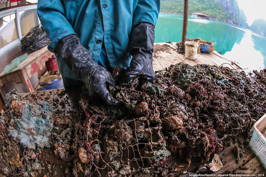 10. Очищенные раковины собирают в корзины, которые позже будут вскрывать под пристальным вниман