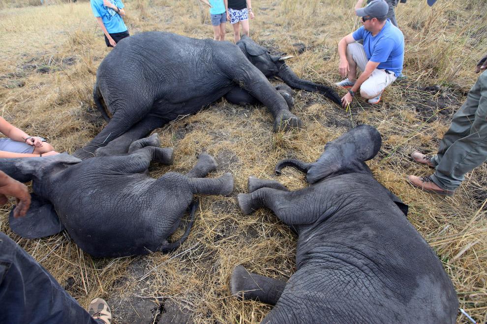 3. Итак, для перевозки слона в безопасное место вам понадобится вертолет, транквилизаторы для у