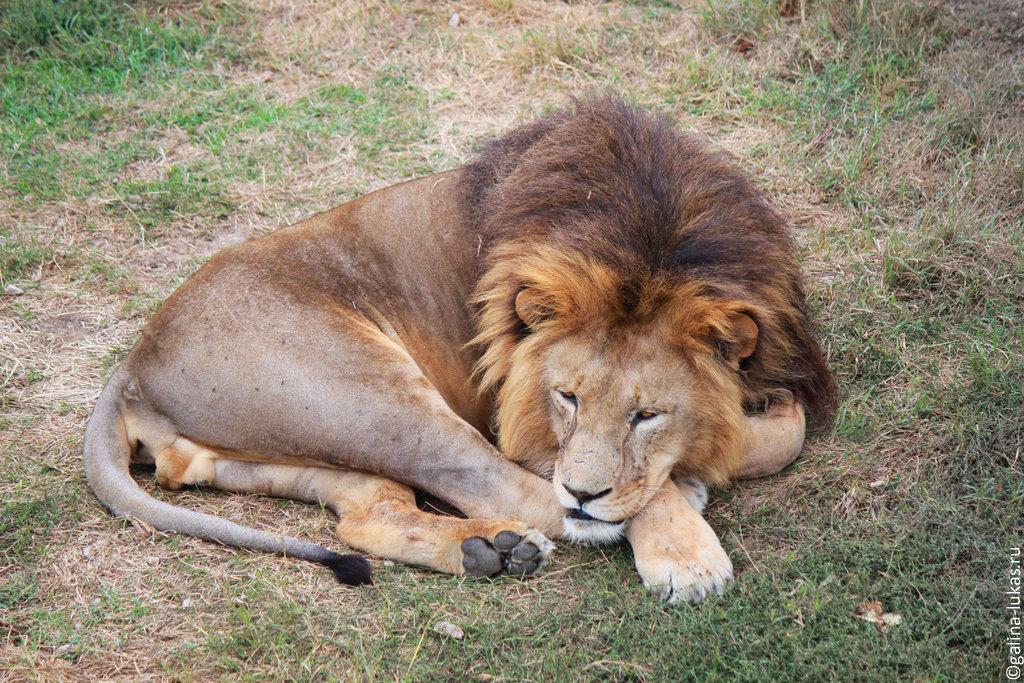 Лев в парке львов «Тайган» в Крыму