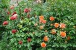 Цветение роз 2016