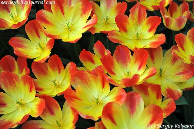 Tulipa Suncatcher (2).JPG
