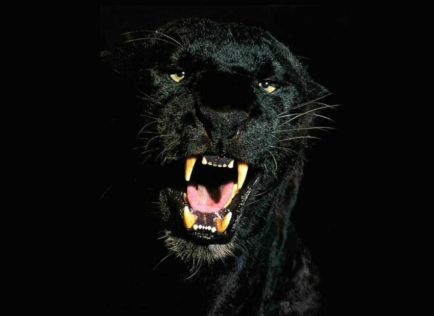 Черный всегда в моде! Фотографии пантер