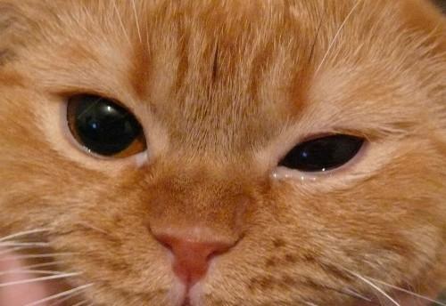 Конъюнктивит у котят