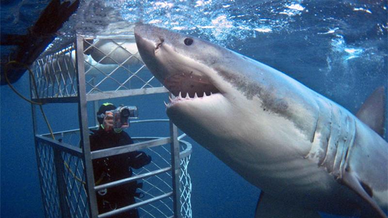 В ЮАР и Австралии программу можно разнообразить, нырнув в океан прямо к акулам. Вас посадят в клетку