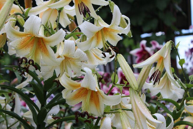 Потрясающие лилии. Восторг!