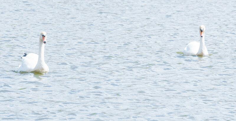На Лебедином озере в Астрахани плавают два лебедя