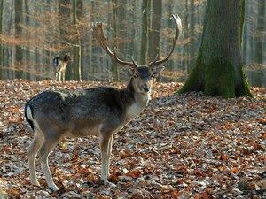 Ходит по лесу красавец...