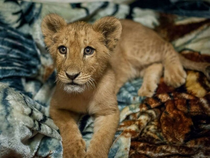 Этот львенок не может заснуть без своего одеяла