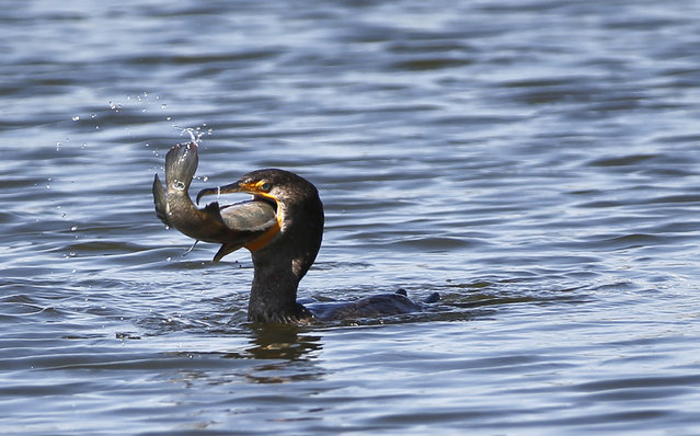A double-crested cormorant attempts to swallow a large fish it caught in a water feature near the 10