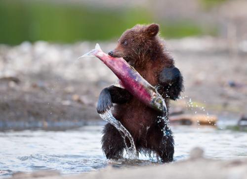 Бурые медведи Камчатки и Аляски
