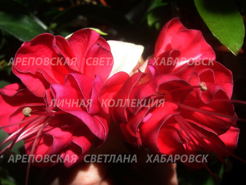 НОВИНКИ ФУКСИЙ. - Страница 5 0_153da2_b17b5d31_L