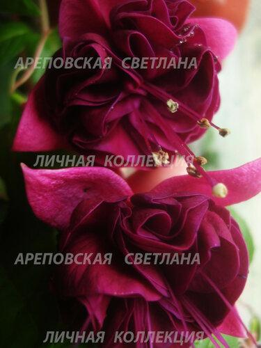 НОВИНКИ ФУКСИЙ. - Страница 5 0_15674f_38574fff_L