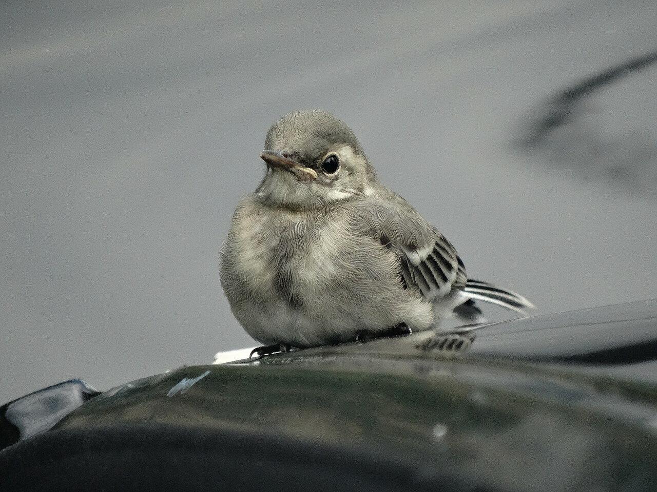 Белая трясогузка (Motacilla alba). Автор фото: Привалова Марина