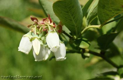 цветы черники