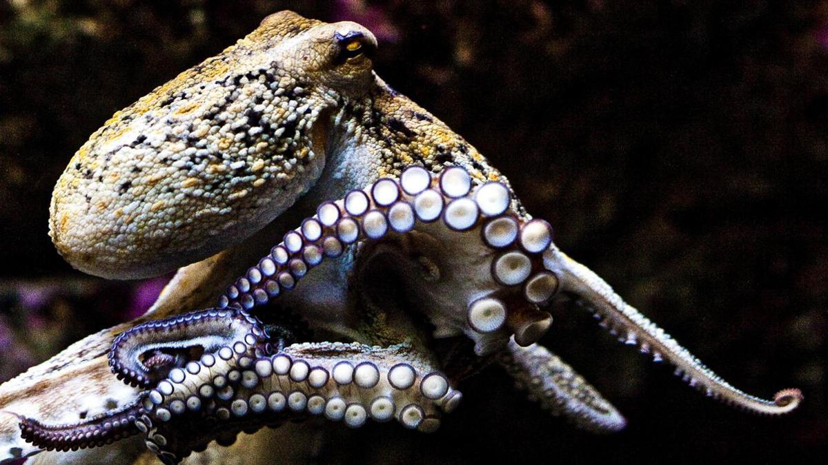 трех осьминогов засунули в попу
