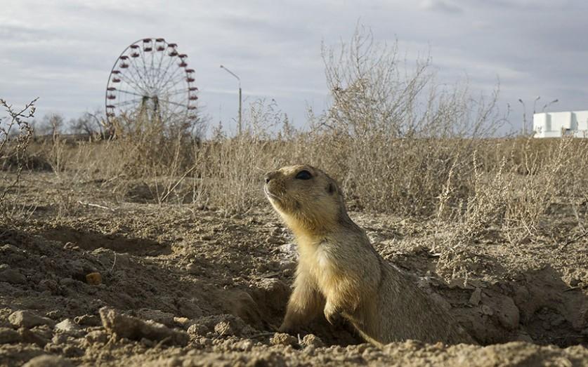 Суслик возле своей норы в парке в городе Байконур, Казахстан.