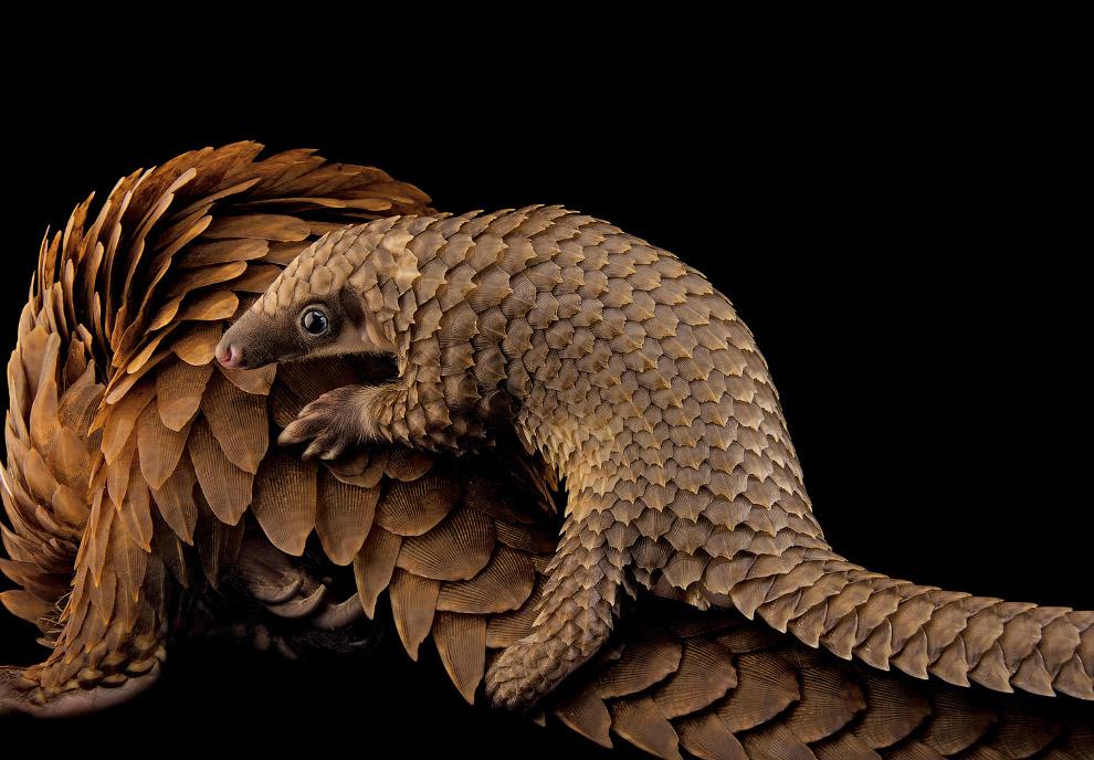 15. Миниатюрная лисица фенек своеобразной внешности, которая живёт в пустынях Северной Африки.