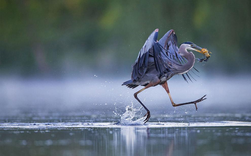 3. Калипта Анны — птица семейства колибри. (Фото Sarah Blodgett | Audubon Photography Awards):<