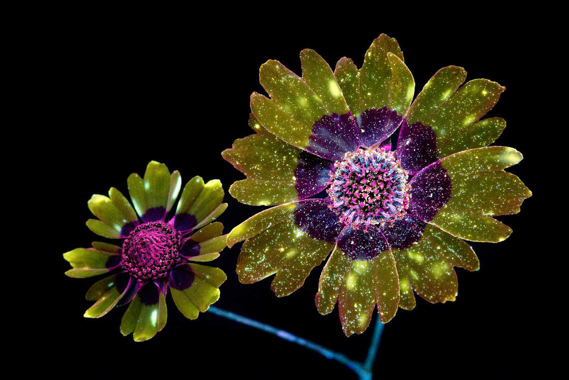 Glowing Flowers - Photographing flowers under ultraviolet light