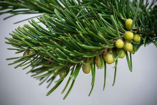 Альбом:  Мой плантариум Pinaceae - Сосновые Автор фото: Владимир Брюхов