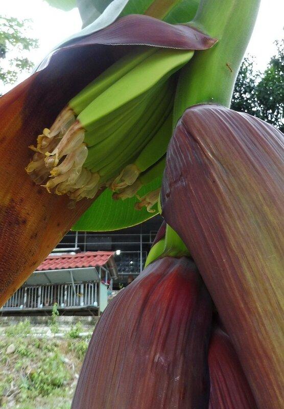 Рождение банана