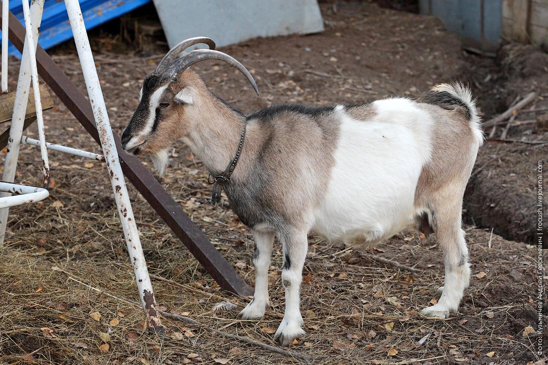 коза в деревне