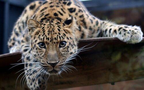 Редкие леопарды - всего 80 на планете, а в Молдове уже двое