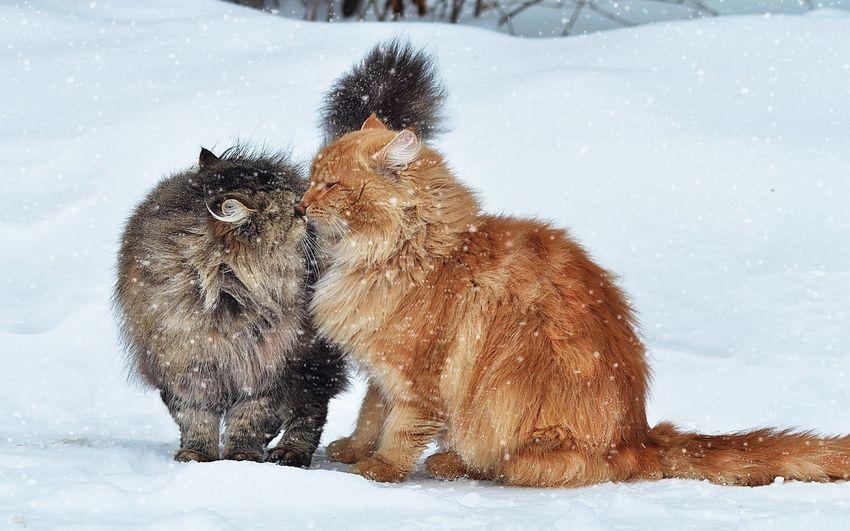 Новый год, новогодняя любовь, кошки
