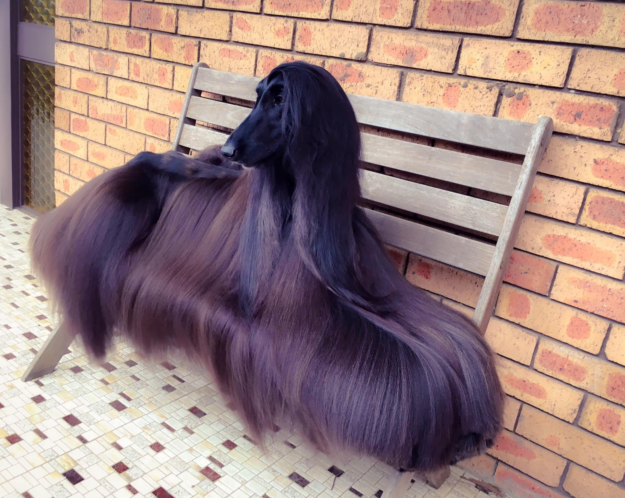 У Ти была успешная карьера в качестве выставочной собаки, но с момента формального «ухода на пенсию»
