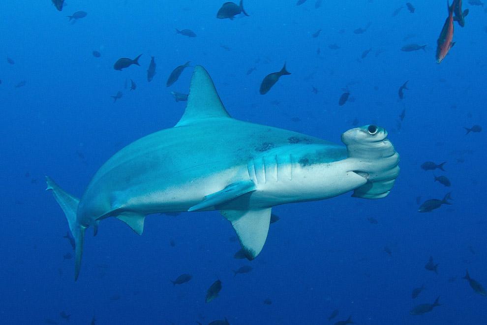 Акула-молот — хищник не агрессивный и для человека в целом безопасный, но при погружении в мест