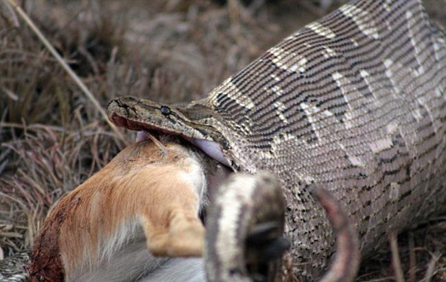 Эти рептилии считаются очень агрессивными и уже неоднократно нападали на людей. В 2002 году даже был