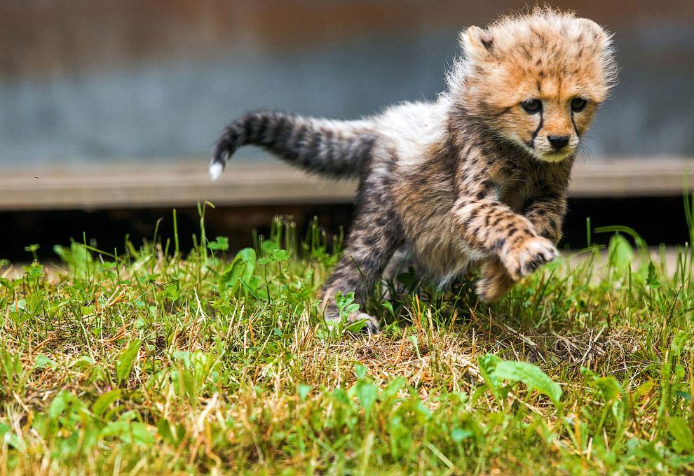 12. Новорожденный жираф в зоопарке в Оклахома-Сити. (Фото Sue Ogrocki):