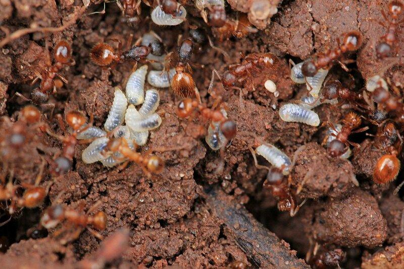 Мелкие рыжие садовые муравьи вида рыжая мирмика (лат. Myrmica rubra) спасают белых личинок вглубь муравейника