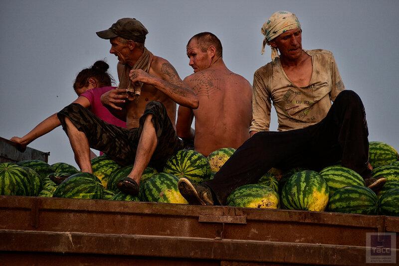Сбор урожая арбузов в Приморском крае